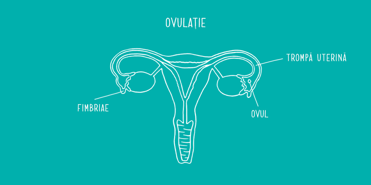 1230x615_Ovaries-diagram-RO