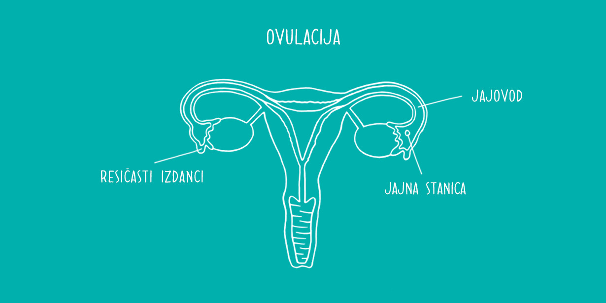 1230x615_Ovaries-diagram.png