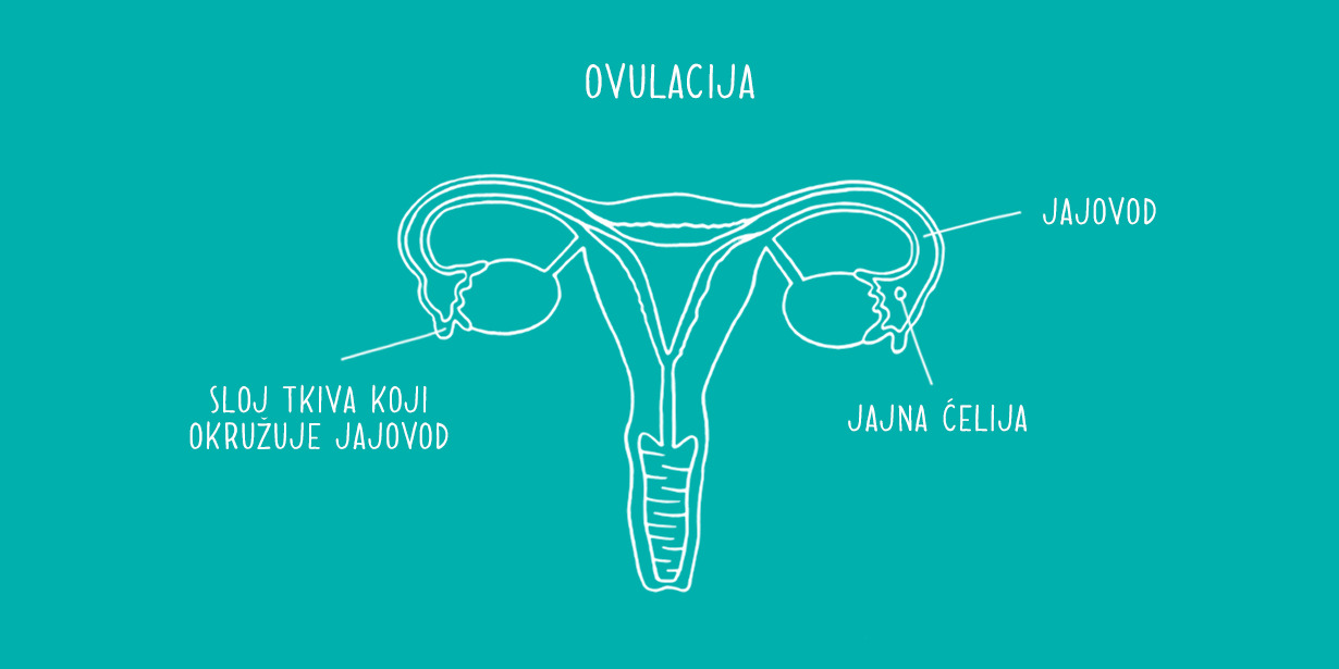 1230x615_Ovaries-diagram-RS.png